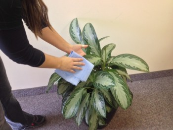 Carefully cleaning a plant